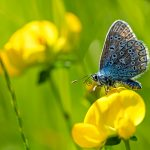 butterfly common blue on Lotus corniculatus