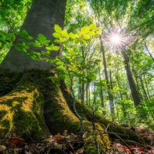 Sunlight shines trough green leaves in the forest during spring